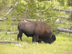 Bison - HUGE animals!