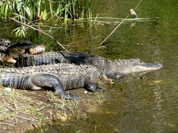 Gator party! Funny, that the one guy was just laying on top of the others