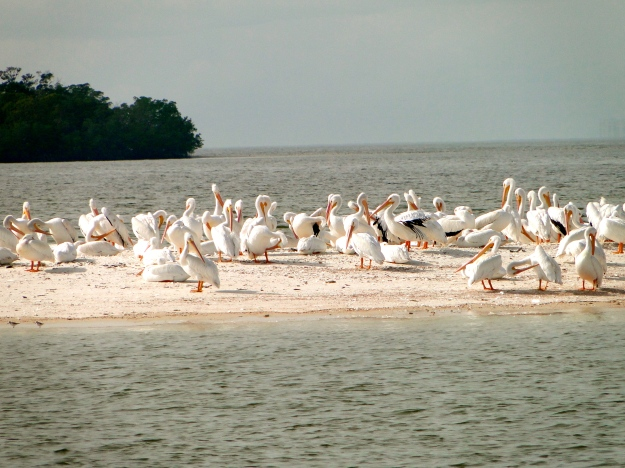 Pelicans in Everglades National Park