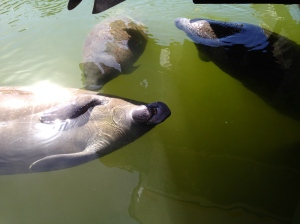The Manatee family