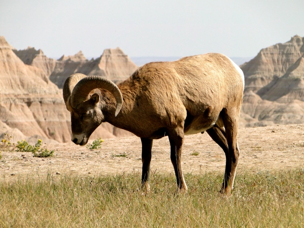 This Bighorn Sheep was not intimidated by us at all