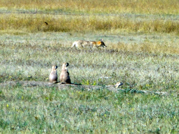 Prairie Dogs on high alert with a coyote on the prowl