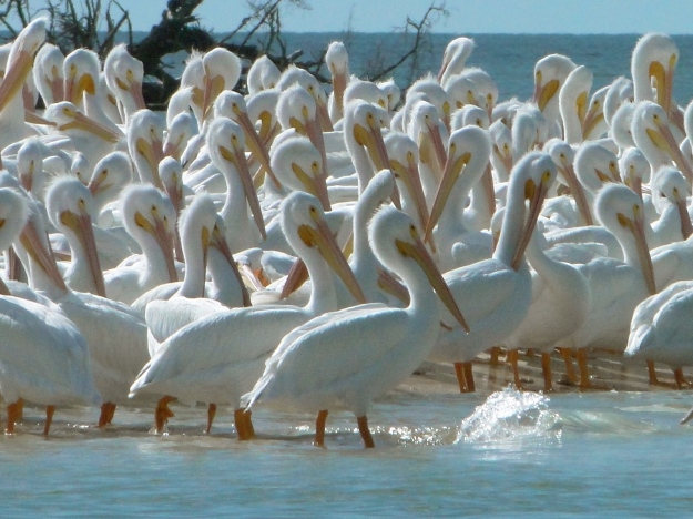 White Pelicans at Indian Key