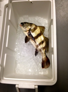Large Black Drum, gave to landscaping crew