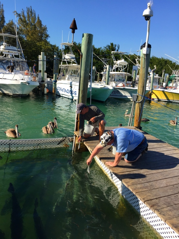 Robbie's Marina, Feeding the Tarpon