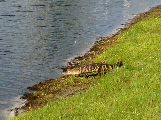 There was a baby gator living in the lake that came up onto the grass